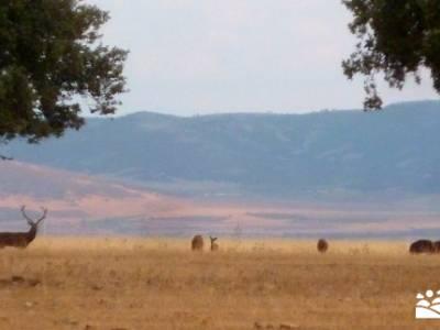 Berrea del Ciervo en Cabañeros y Montes de Toledo en 4x4;rutas montaña rutas en la pedriza